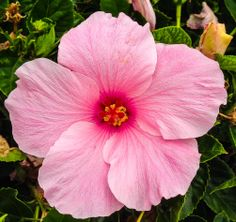 Pink hibiscus snapped in #Hawaii during my morning commute. #gohawaii
