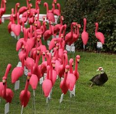 Odd duck out ~ A duck reacts to a flock of plastic flamingos near the North Florida Regional Medical Center in Gainesville. The flamingos are on display to promote Breast Cancer Awareness month. Five hundred flamingos were installed to represent the number of breast cancer patients the hospital has treated in the last two years.