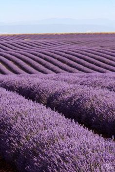love lavender and lavender fields...