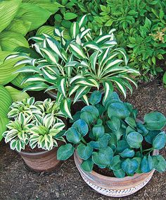 Look what I found on zulily! Mini Hosta Plant - Set of Two