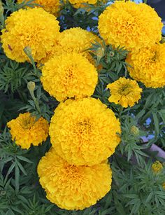 """Marigold 'Day of the Dead Golden Yellow' """"Cempazuchitl"""" #diadelosmuertos #dayofthedead yellow marigold, golden yellow, yellow garden"""