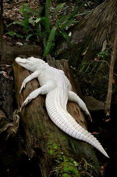 Albino Alligator by ~greenappaloosa
