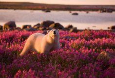Polar bear flowers
