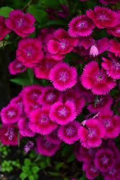 Dianthus,