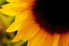 Sunflower! <3