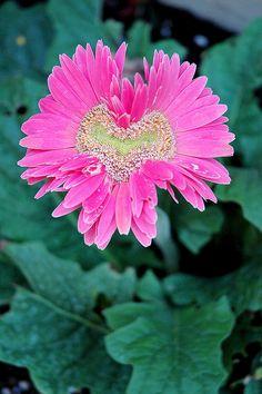 Heart shaped gerber daisy