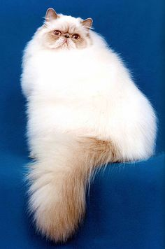 Lilac Colorpoint Persian (Himalayan)