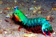 mantis shrimp animals, manti shrimp, seas, animal kingdom, color, sea creatur, fish, aquarium, peacock manti