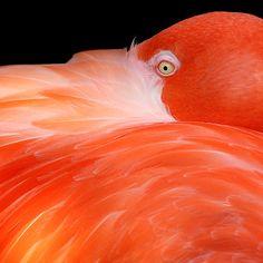 ~~ Caribbean Flamingo ~~