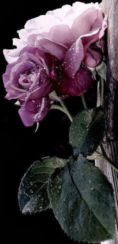 Lila rózsán