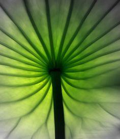 lotus leaf, natur beauti, leaf art, lotus obsess