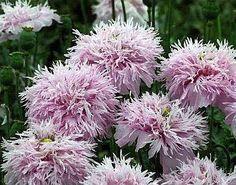 PomPom Poppy Seeds  (Lilac, Pink Pom Pom Poppies)