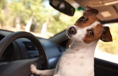 Pet Travel Safety - How to Road Trip with a Dog in the Car