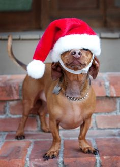 ...dachshund santa... Who turned the lights out!?