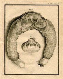 "animal fetus II french 1777 engraving 8 x 10"" $75"