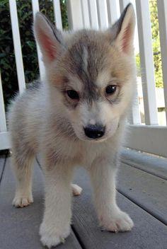 Siberian Husky Puppy Love