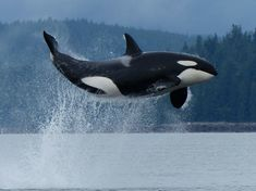Spectacular orca show 'like fireworks on 4th of July'