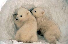 polar bear cubs | Polar Bear Cubs
