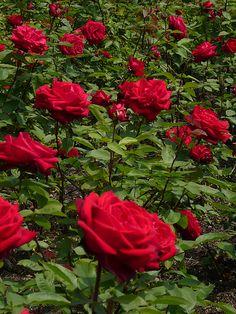 Rose garden, Greenwich Royal Park, London