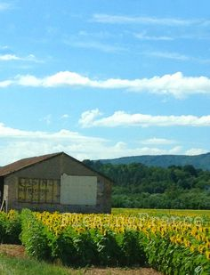 Provence fields of yellow  xoxo--FleaingFrance