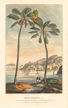 Arecaceae - Lodoicea sechellarum From: Flore des serres et des jardins de l'Europe by Charles Lemaire and others.