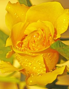 one perfect yellow rose