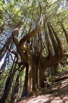 "Grove of ""Candelabra"" Redwoods (AKA the Enchanted Forest), in Shady Dell, San Francisco, California"