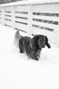 snow (black & white) - I love Dachshunds