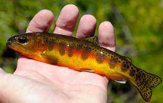 Golden Trout................... fli fish, fish pix, golden trout, fish bucket