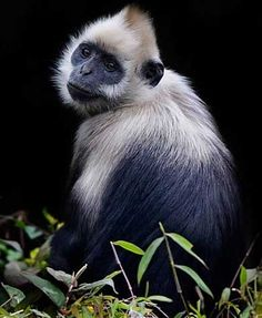 white headed langur (Trachypithecus poliocephalus)