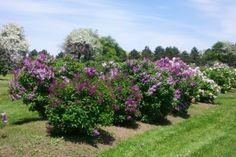 Niagara Falls Centennial Lilac Garden.  Beautiful in mid/late May!