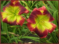 Beautiful Daylily