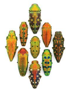 Buprestid beetles AKA jewel beetles