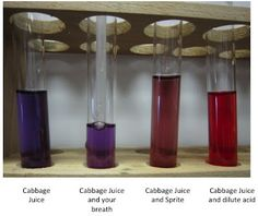 Red Cabbage pH Indicator in Respiration Labs