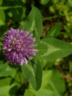 Red Clover make a tasty treat