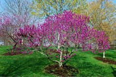 canadensis-var.-texensis_Texas_Redbud_Landscaper_waterwise_Texas_landscaping.jpg (800×536)