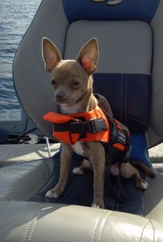 """My chihuahua says """"How do I look in my Life Jacket?"""""""