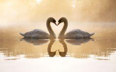Lovely Swans!