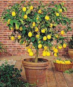 Potted meyer lemon trees are easy to grow and produce luscious fruit. Need one.