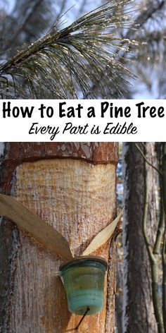 How to Eat a Pine Tree ~ Every Part is Edible
