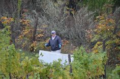 Sorting the grapes in the vineyard is as important as sorting at the winery.