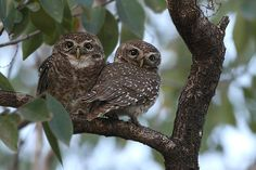 Spotted Owlets (Athene brama) pair. Photo by Saleel Tambe.