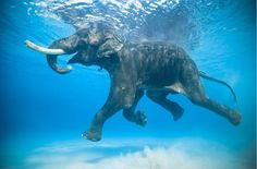 An elephant swimming in the water.