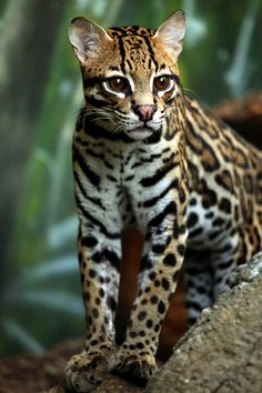 Cute baby jaguar photo | Cute Animals Photos