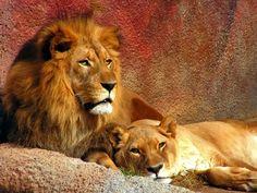 Mr & Mrs Lion