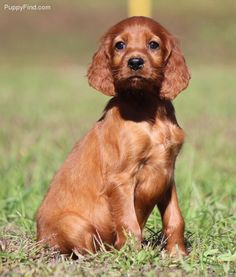 My Puppies on Pinterest | Irish Setter Dogs, Irish and Dog ...