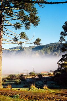 Serra do corvo branco - àrvore da araucaria - Morning mist at White Crow Sierra, Santa Catarina, Brazil by Mathieu Struck, via Flickr