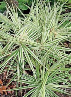 Carex phyllocephala 'Sparkler'/Sparkler Sedge