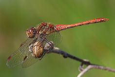 Red dragonfly resting - Photo by Claudio Cavalensi