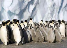 "Emperor Penguin ""Nursery"" in Antarctica"